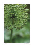 Green Allium Limited Edition by Stacy Bass