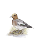 Wigeon (Male) Premium Giclee Print by C.T.N. Ackland