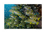 Schooling Sweetlips with Glassfish Giclee Print by  Jones-Shimlock