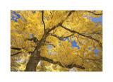 Donald Paulson - Stewart Park Walnut Trees II Digitálně vytištěná reprodukce
