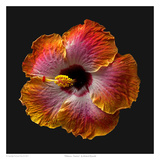 Hibiscus - Exotica Print by Richard Reynolds