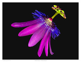 Amethyst Passion Flower Prints by Richard Reynolds