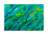 Schooling Snappers Giclee Print by  Jones-Shimlock