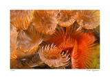 Feather Duster Colony Giclee-trykk av  Jones-Shimlock