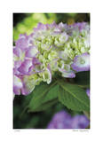 Pink Hydrangea 2 Giclee Print by Stacy Bass