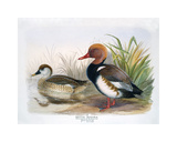 Red Crested Pochard Premium Giclee Print by Henry Jones