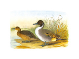 Ducks I Premium Giclee Print by Henry Jones