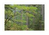 Mount Rainier Vine Maple Limited Edition by Donald Paulson