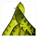 Snow Peas Prints by David Wagner