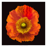 Iceland Poppy Art by Richard Reynolds