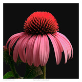 Purple Coneflower Print by Richard Reynolds