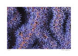 Seafan Giclee Print by  Jones-Shimlock