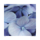 Blue Hydrangea 2 Limited Edition by Stacy Bass