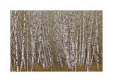 Alder Trees Olympic National Park Limited Edition by Donald Paulson