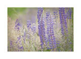 Lupine Grasses Limited Edition by Donald Paulson