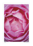 Pink Rose 1 Giclee Print by Stacy Bass