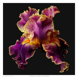 Tall Bearded Iris - Entagled Posters by Richard Reynolds