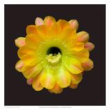 Echinopsis Cactus Hybrid - Daydream Art by Richard Reynolds