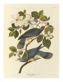 Band Tailed Pigeon Reproduction giclée Premium par John James Audubon