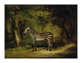 A Zebra Premium Giclee Print by George Stubbs