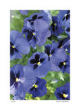 Electric Pansy Giclee Print by Stacy Bass