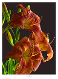 Daylily Prints by Richard Reynolds