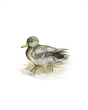 Mallard (Male) Premium Giclee Print by C.T.N. Ackland