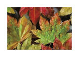 Dew Covered Vine Maple Giclee Print by Donald Paulson
