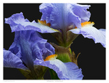 Tall Bearded Iris 3 Prints by Richard Reynolds