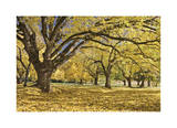 Stewart Park Walnut Trees I Limited Edition by Donald Paulson