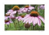 Echinacea Party Limited Edition by Stacy Bass