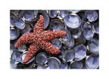 Sea Star and Clam Shells Giclee Print by Donald Paulson