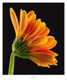 Gerbera Daisy Poster by Richard Reynolds