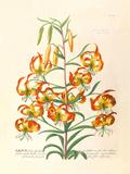 Lilium Premium Giclee Print by Georg Dionysius Ehret