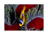 Red Sea Anemonefish Giclee Print by  Jones-Shimlock