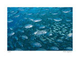 Schooling Trevally Giclee Print by  Jones-Shimlock