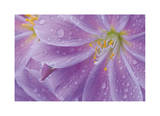 Lewisia II Limited Edition by Donald Paulson