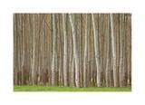 Pappeln Limitierte Auflage von Donald Paulson