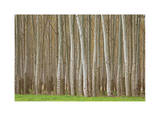 Poplar Trees Limited Edition by Donald Paulson