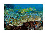 Table Coral and Reef Fish Giclee-trykk av  Jones-Shimlock