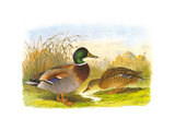 Ducks IV Premium Giclee Print by Henry Jones