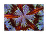 Fire Urchin Giclee Print by  Jones-Shimlock