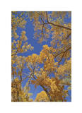Cottonwoods in Fall Giclee Print by Donald Paulson