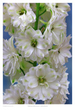 Delphinium Double Innocence Plakater af Richard Reynolds