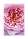 Pink Rose 2 Giclee Print by Stacy Bass
