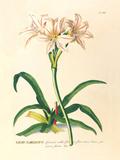 Lilio-Narcissus Premium Giclee Print by Georg Dionysius Ehret
