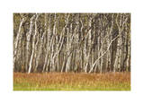Nature Conservancy Aspen Grove II Limited Edition by Donald Paulson