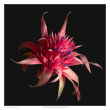 Sliver Vase Bromeliad Prints by Richard Reynolds