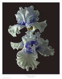 Tall Bearded Iris - Willamette Mist Poster by Richard Reynolds