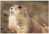 Black-Tailed Prarie Dog (Close-U) Art Poster Print Print